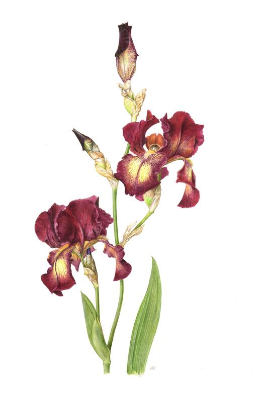 Coloured Pencil Work Roger Reynolds Botanical Art